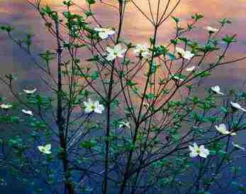 beautiful flowering dogwoods