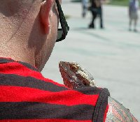 pet iguana on shoulder