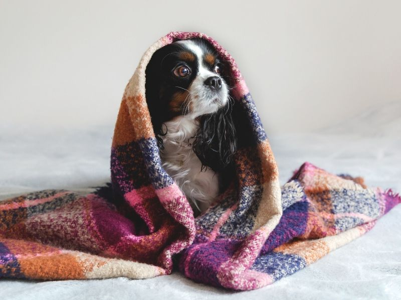 Dog wrapped up in a blanket