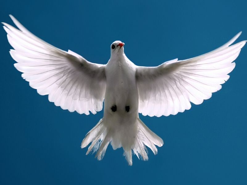 Beautiful white dove in the sky